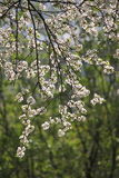 Summer day in Moscow park white cherry flowers Royalty Free Stock Photography