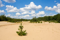 Summer day in pine forest Stock Photos
