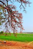 Summer day in the riverside with cotton trees, Myanmar  Burma Royalty Free Stock Photos