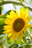 Summer day scene with sunflower plant. Yellow petal garden flower sunny soft green background photo.  stock photos
