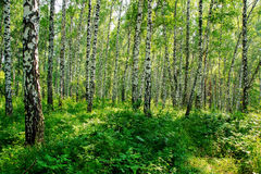 Summer day in the Siberian forest Stock Images