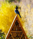 A Summer Day with a Stellar`s Jay stock photography
