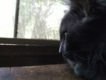 Summer Daydream. Gray kitten looking out window Royalty Free Stock Photo