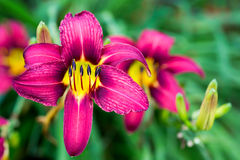 Summer Daylilies Royalty Free Stock Image