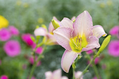 Summer Daylily Royalty Free Stock Images