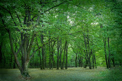 summer deciduous forest Royalty Free Stock Photos