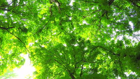 Summer deciduous forest stock footage