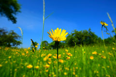 Summer decor with Meadow Salsify Royalty Free Stock Image