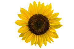 Summer decorative sunflowers Stock Photo