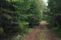 Summer dense pine forest Stock Photo