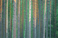 Summer dense pine forest Royalty Free Stock Photography