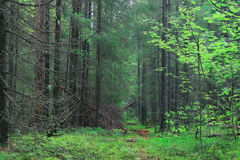 Summer dense pine forest Royalty Free Stock Photo