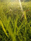 Summer Dew Grass in the morning. Beautiful summer green grass with dew in grassland in the morning royalty free stock image