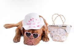 Summer dog Royalty Free Stock Photos