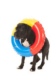 Summer dog with inflatable swimming toy Stock Image