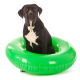 Summer dog with swimming toy. Dog on vacation with green inflatable swimming tool stock photos