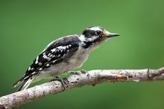Summer Downy Woodpecker Royalty Free Stock Image