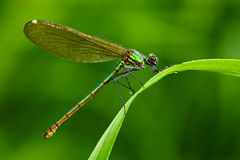 Summer dragonfly Banded Demoiselle, Calopteryx splendens. Macro picture of dragonfly on the leave. Dragonfly in the nature. Dragon Stock Image