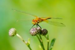 Summer dragonfly on flower bud Stock Photo
