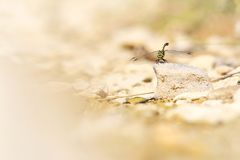 A dragonfly who is land on a rock stock images