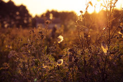Summer dry grass against a sunset. Royalty Free Stock Photo