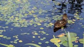 Summer duck pond stock footage