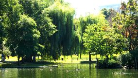 Summer ducks in the pond. Summer ducks in a pond under a willow tree royalty free stock photography