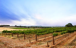 Summer Dusk Vineyard Royalty Free Stock Photography