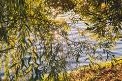 Summer or early autumn park with pond river and weeping willow trees on the shore Royalty Free Stock Photos