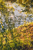 Summer or early autumn park with pond river and weeping willow trees on the shore Royalty Free Stock Image