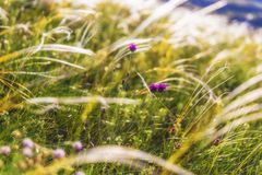 Summer ears of grass and wild mountain flowers. Nature royalty free stock image