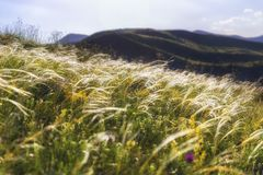Summer ears of grass and wild mountain flowers. Nature royalty free stock images