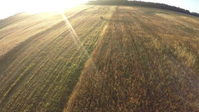 Summer end farmland wheat fields in beautiful morning, aerial view stock video