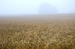 Summer end wheat field and early morning fog mist Royalty Free Stock Images