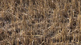 Summer end wheat straw stubble after harvesting on farm field stock video