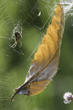 Summer ending. This spider sits on a broken web that has captured an autumn leaf Royalty Free Stock Photography