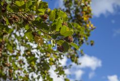 Summer in England - blue skies and bright green leaves. This image shows a view of some green trees and blue skies in one of the parks of London, England. It stock image