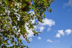 Summer in England - a sunny day; blue skies and green leaves. This image shows a view of trees and blue skies in one of the parks of London, England. It was royalty free stock photography