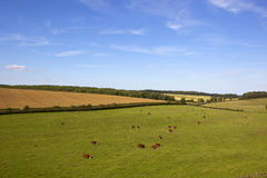 Summer english landscape. An english landscape in summer with livestock grazing in meadows under a blue sky in the yorkshire wolds Stock Images