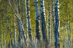 Summer evening in a birch grove. Stock Image