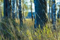 Summer evening in a birch grove. Stock Photos