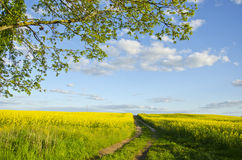 Summer evening farm rape field landscape Stock Images