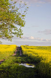Summer Evening Farm Road And Rapes Field Royalty Free Stock Photo