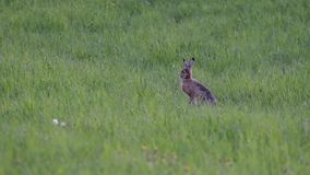 Curious hare on the green meadow. A summer evening and the hare are sitting on the green field stock video footage