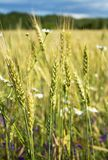 Summer evening, rural field, ears of wheat and fresh wildflowers, of different colors. Wheat ears and beautiful wild flowers grow on a meadow on a warm, summer Royalty Free Stock Photo