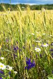 Summer evening, rural field, ears of wheat and fresh wildflowers, of different colors. Wheat ears and beautiful wild flowers grow on a meadow on a warm, summer Royalty Free Stock Image