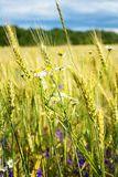 Summer evening, rural field, ears of wheat and fresh wildflowers, of different colors. Wheat ears and beautiful wild flowers grow on a meadow on a warm, summer Stock Image