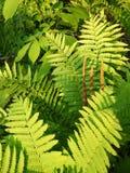 Summer: evening sunlit ferns Royalty Free Stock Photo