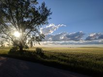 Summer evening. Wheat field summer evening royalty free stock images