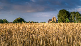 Summer evening in Zeeland with blooming cornfields. Reaping white in an agricultural field near the Hostoric Town Veere. With view on the big Church, zeeland stock photography